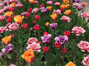 Springtime tulips in the breeze.