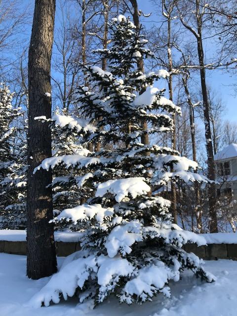 IMG_9998 snowy pine tree
